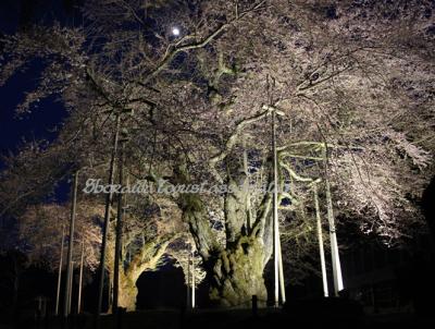 荘川桜夜景