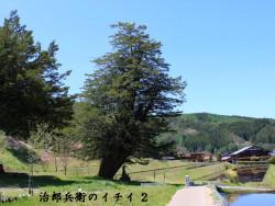 樹齢2000年治郎兵衛のイチイ(2)