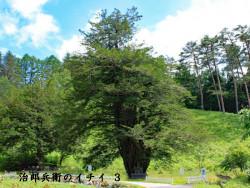 樹齢2000年治郎兵衛のイチイ(3)